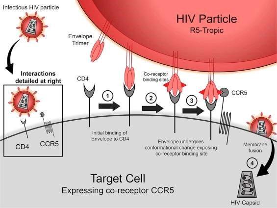 Một đột biến gene khá hiếm giúp cơ thể người chống lại sự lây nhiễm virus HIV.