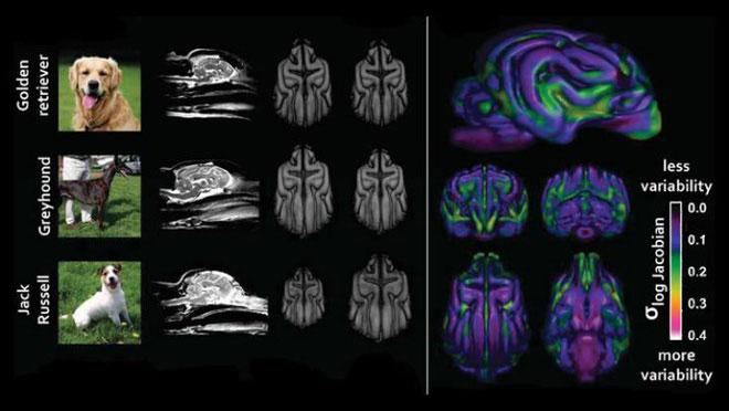 Chính hoạt động huấn luyện của con người mới làm thay đổi não bộ chó săn