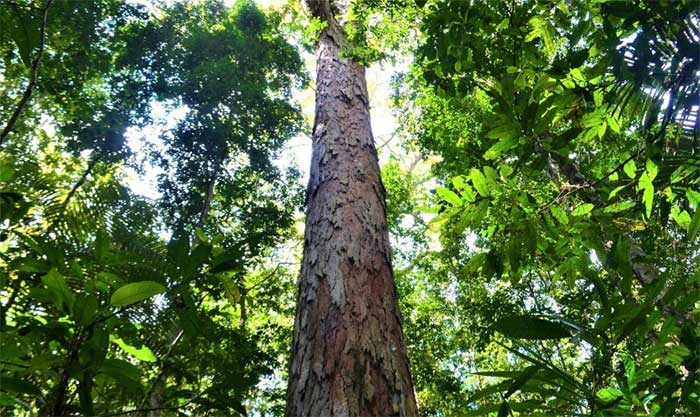 Cây Dinizia excelsa cao 88m trong rừng Amazon.