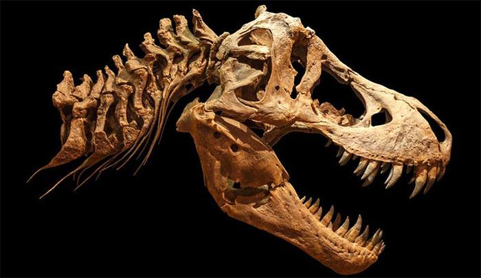 Hộp sọ T-Rex.