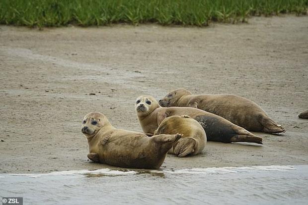 Lượng hải cẩu tại sông Thames đang tăng dần qua từng năm.