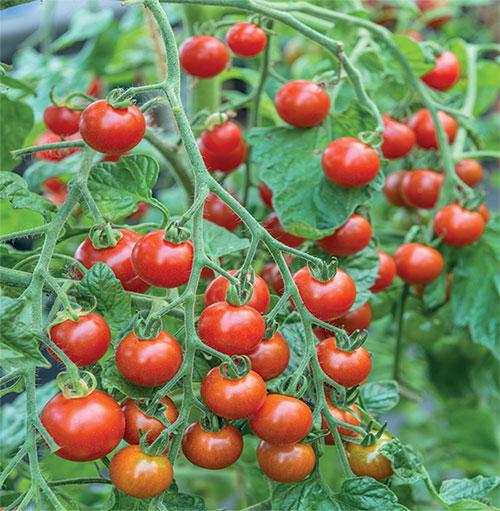 Cà chua rất chua và có thể gây ợ nóng ở những người có vấn đề về dạ dày