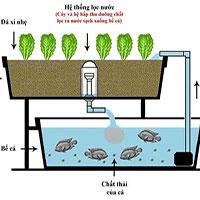Mô hình nuôi cá kết hợp trồng rau thủy canh