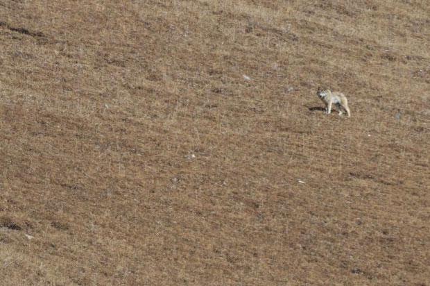Chó sói Tây Tạng