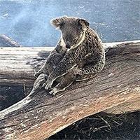 Hình ảnh đầy đau thương: Gấu Koala mẹ bảo vệ con khỏi đám cháy rừng