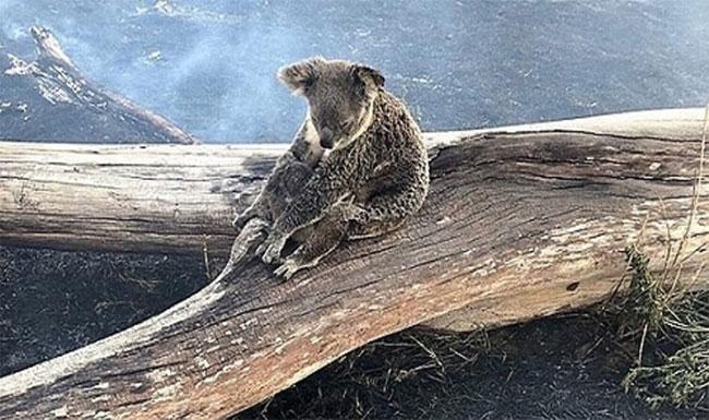 Koala mẹ dùng thân mình làm lá chắn lửa cho con non.