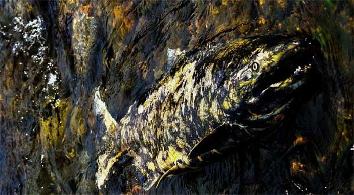 Một con cá hồi chết vì dính virus.
