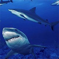 Điều gì xảy ra nếu cá mập biến mất?