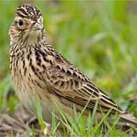 Sự thật về chim sơn ca: Một trong nhưng loài chim có giọng hót cực hay