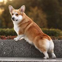 Những thông tin cực thú vị về chó Corgi mà bạn không thể bỏ qua
