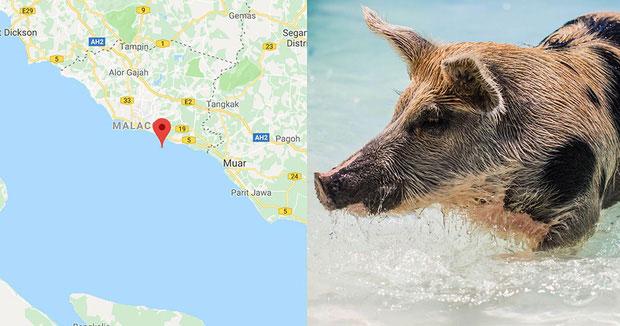 Lũ lợn được cho là có nguồn gốc từ Sumatra, cách đảo ít nhất 65km.