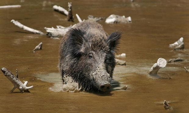 Lợn rừng đang khiến cư dân tại đảo Pulau Besar khốn khổ.