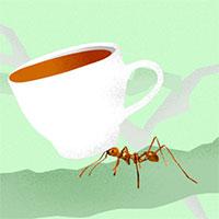 """Quên cafe chồn đi, bây giờ còn có cả """"cafe kiến"""" cực độc mà có tiền cũng chưa chắc mua được"""
