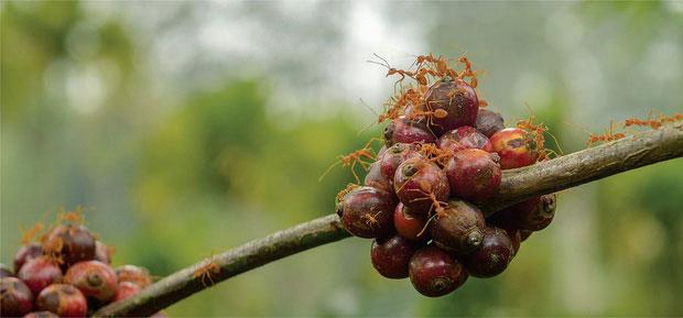 Chỉ có một số loài kiến và cây cà phê mới hình thành mối quan hệ cộng sinh.