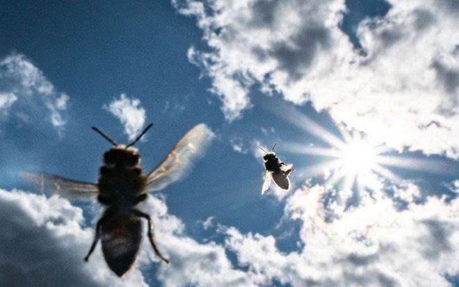 Ong mật có thể sử dụng để thay thế cho chó để phát hiện ma túy tại các sân bay.