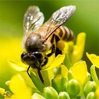Các nhà khoa học muốn biến loài ong thành đội quân chuyên dò vật liệu nổ và phóng xạ