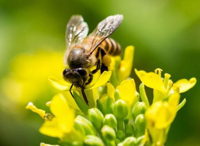 Các chuyên gia muốn dùng sử dụng ong để xác định vị trí chất nổ, kim loại phóng xạ và ma túy.