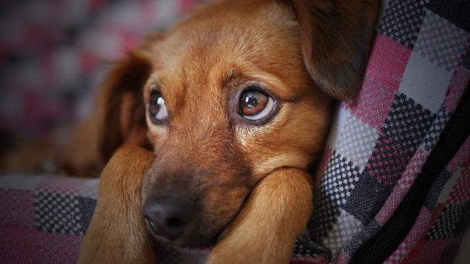 Chuyển động lông mày của chó được điều khiển bởi cơ bắp