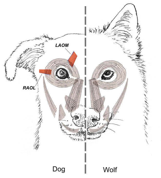 Nhóm cơ quanh mắt của chó đã giúp chúng có có thể điều khiển được lông mày