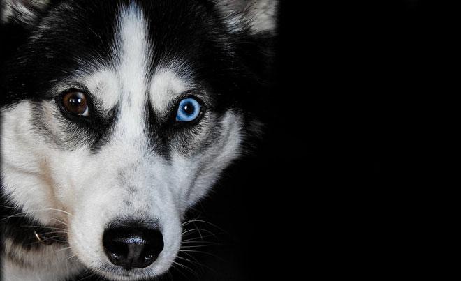 Khi con chó của bạn muốn một cái gì đó, nhất là khi xin ăn, nó sẽ thể hiện một biểu hiện hết sức đáng thương thông qua đôi mắt.