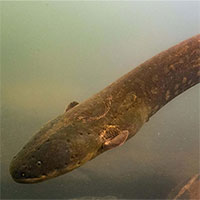 Phát hiện loài lươn có cú phóng điện mạnh 850 volt