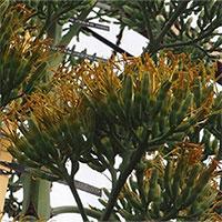 Cây thùa nở hoa lần đầu sau 57 năm