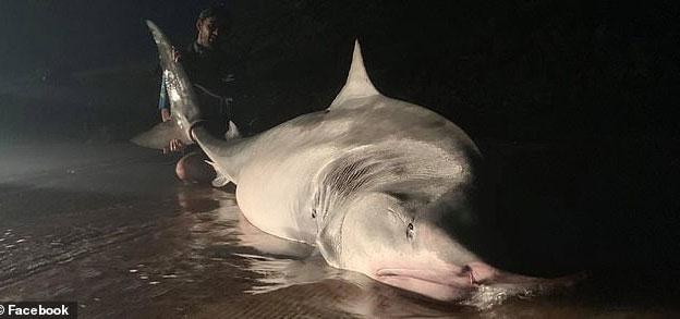 Một chuyên gia cho biết, con cá mập hổ dường như đang có thai.