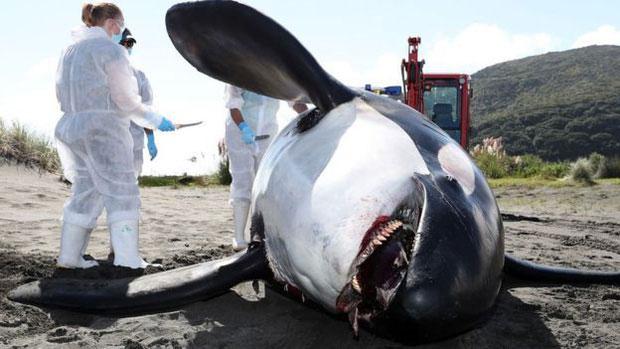 Xác con cá voi sát thủ với PCB cao kỷ lục.