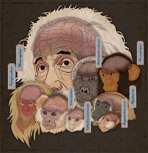 Kích thước não bộ của loài linh trưởng tăng trưởng trải qua những bước quanh co và độc lập trong quá trình tiến hóa.