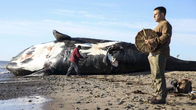 28 con cá voi đầu bò bắc Đại Tây Dương - tương đương 8% dân số loài, đã chết trong vòng 2 năm qua.