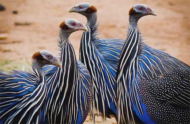 Kền kền Guinea Fowl