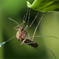 """Muỗi cái không chịu """"yêu đương"""" với muỗi đực biến đổi gene, dự án tiêu diệt loài muỗi thất bại"""