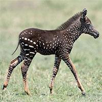 Ngựa vằn lông đốm xuất hiện trên đồng cỏ châu Phi
