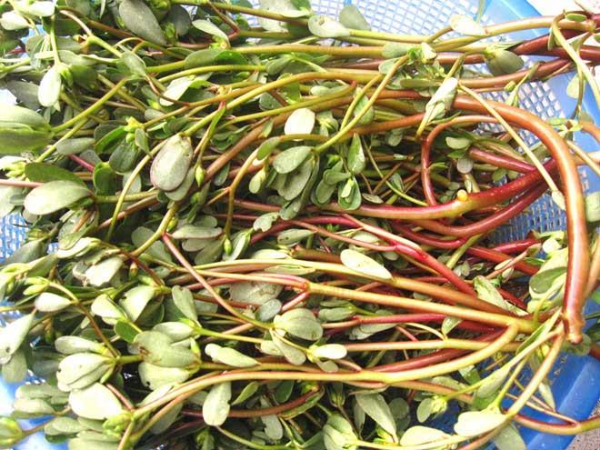 Dùng rau sam trị giun thì hữu hiệu với giun kim và giun đũa.