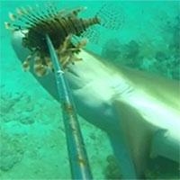Cá mập đói bụng xé xác cá sư tử