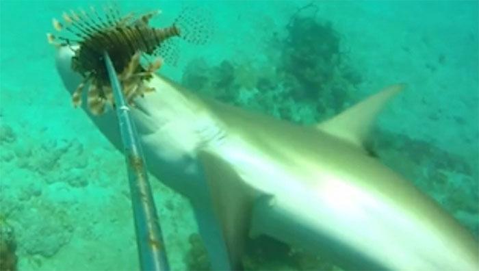Gai của cá sư tử chứa độc có thể gây đau đớn, suy hô hấp nhưng nó không xi nhê gì với cá mập.