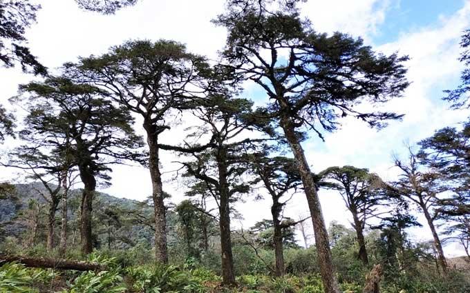 Quần thể cây thiết sam gồm hơn 100 cây trong khu bảo tồn thiên nhiên Bát Xát