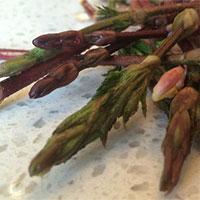 Bật mí về loại rau đắt nhất hành tinh, giá lên tới 26 triệu đồng/kg