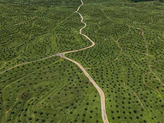 Những con đường ngoằn nghèo chạy qua một điền trang trồng dầu cọ trên đảo Borneo, Malaysia.