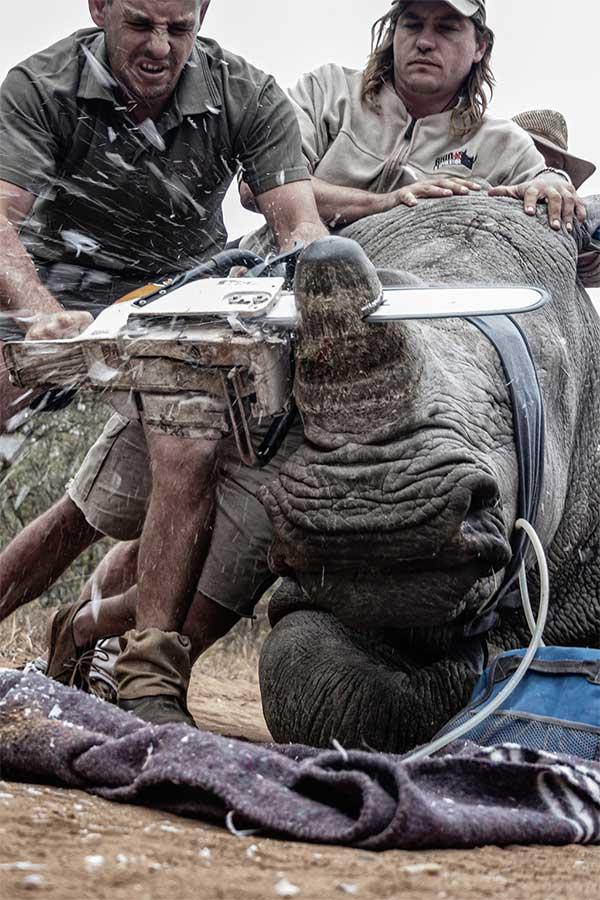 Con tê giác này đang được các nhân viên bảo tồn cưa sừng để giúp nó tránh bị giết hại bởi những kẻ săn trộm.