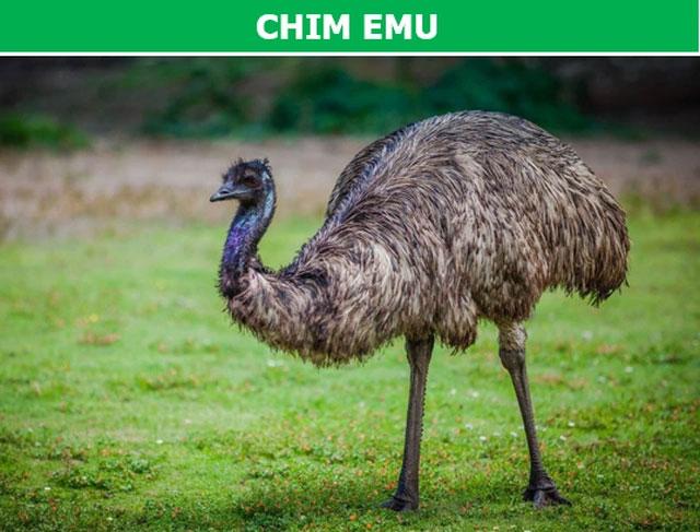 Chim Emu