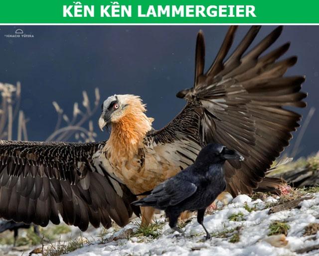 Kền kền Lammergeier