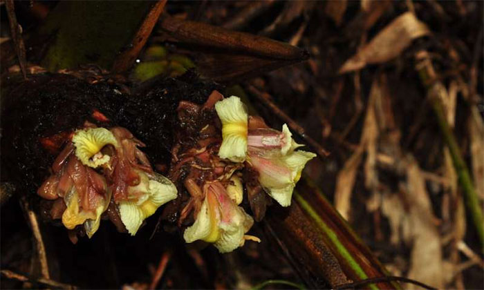 Hoa của loài Amomum erythranthum