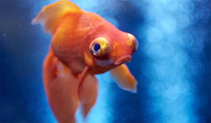 Loài cá được cho cũng biết đau như con người và một số loài động vật khác.