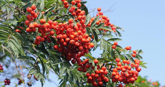 Thanh lương trà là một loài cây từng rất phổ biến ở châu Âu.