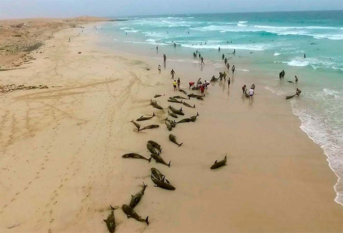 136 cá heo bị mắc kẹt chết thảm trên bờ biển Tây Phi.