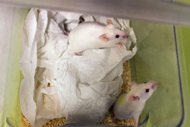 """Những """"phi hành gia"""" chuột đực có thể sinh ra những đứa con khỏe mạnh, sau khi bị đưa lên ISS."""