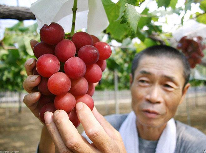 Nho Ruby Roman, báu vật của nông dân tỉnh Ishikawa, Nhật Bản.