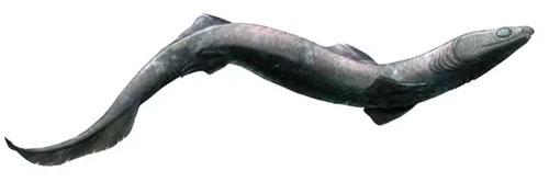 Cá mập Phoebodus cổ đại có cơ thể dài giống lươn.