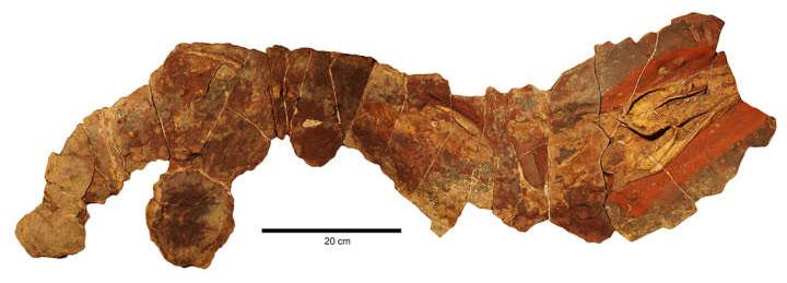 Hóa thạch cá mập Phoebodus ở Morocco.